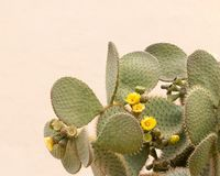 Κίτρινο λουλούδι κάκτων Στοκ Φωτογραφία