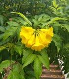 Κίτρινο λουλούδι κουδουνιών Στοκ φωτογραφία με δικαίωμα ελεύθερης χρήσης