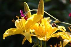 Κίτρινο λουλούδι κρίνων με τις πτώσεις νερού στοκ φωτογραφίες με δικαίωμα ελεύθερης χρήσης