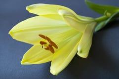 Κίτρινο λουλούδι κρίνων Στοκ Εικόνα