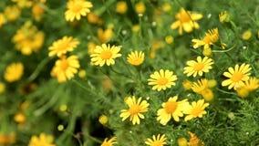 Κίτρινο λουλούδι κόσμου στον τομέα κόσμου απόθεμα βίντεο