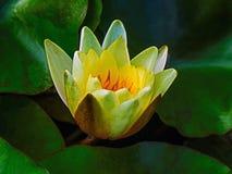 Κίτρινο λουλούδι λωτού με τα κιτρινοπράσινα φύλλα στοκ φωτογραφία