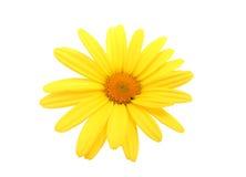 Κίτρινο λουλούδι μαργαριτών Στοκ Εικόνες