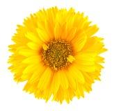Κίτρινο λουλούδι μαργαριτών Στοκ εικόνα με δικαίωμα ελεύθερης χρήσης