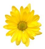 Κίτρινο λουλούδι μαργαριτών Στοκ φωτογραφία με δικαίωμα ελεύθερης χρήσης