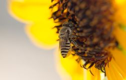 Κίτρινο λουλούδι μελισσών ενός ηλίανθου Στοκ φωτογραφία με δικαίωμα ελεύθερης χρήσης