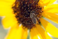 Κίτρινο λουλούδι μελισσών ενός ηλίανθου Στοκ εικόνες με δικαίωμα ελεύθερης χρήσης
