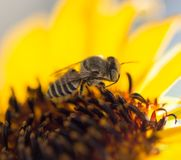Κίτρινο λουλούδι μελισσών ενός ηλίανθου Στοκ Εικόνες