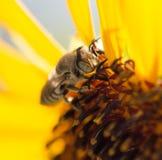Κίτρινο λουλούδι μελισσών ενός ηλίανθου Στοκ Εικόνα