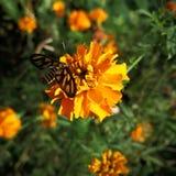 Κίτρινο λουλούδι με μια πεταλούδα Στοκ Εικόνες