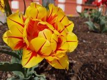 Κίτρινο λουλούδι με τις κόκκινες φλέβες στοκ φωτογραφία με δικαίωμα ελεύθερης χρήσης