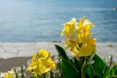 Κίτρινο λουλούδι μπροστά από τη λίμνη με τις αντανακλάσεις ναυσιπλοΐας και νερού βαρκών στο lago ascona maggiore Στοκ Φωτογραφία