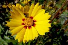 Κίτρινο λουλούδι νταλιών Κίτρινο λουλούδι νταλιών στα σύνορα λουλουδιών Κίτρινο αστέρι νταλιών στοκ εικόνες