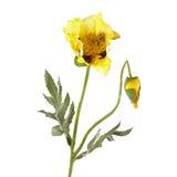 Κίτρινο λουλούδι παπαρουνών που απομονώνεται στο λευκό Στοκ Εικόνες