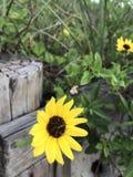 Κίτρινο λουλούδι παραλιών Στοκ εικόνες με δικαίωμα ελεύθερης χρήσης