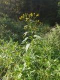 Κίτρινο λουλούδι που πιάνεται στον ήλιο στοκ εικόνες