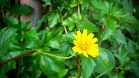 Κίτρινο λουλούδι, πράσινο υπόβαθρο φύλλων Στοκ Εικόνα
