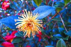 Κίτρινο λουλούδι πυροτεχνημάτων που περιβάλλεται από το grean φύλλωμα στοκ φωτογραφία με δικαίωμα ελεύθερης χρήσης
