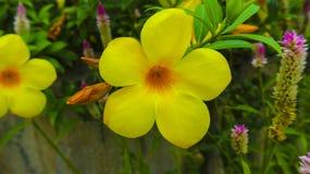 Κίτρινο λουλούδι σαλπίγγων στον κήπο Στοκ Εικόνα