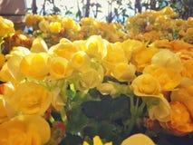 Κίτρινο λουλούδι στη φύση Στοκ Φωτογραφία