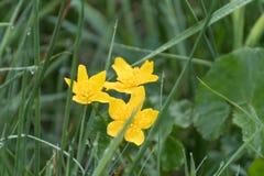 Κίτρινο λουλούδι στο πράσινο υπόβαθρο της χλόης στοκ φωτογραφία