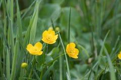 Κίτρινο λουλούδι στο πράσινο υπόβαθρο της χλόης στοκ εικόνα με δικαίωμα ελεύθερης χρήσης
