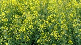 Κίτρινο λουλούδι της ανάπτυξης βιασμών Γεωργική συγκομιδή για τη παραγωγή πετρελαίου απόθεμα βίντεο