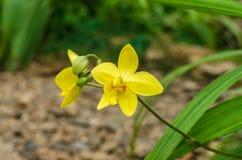 Κίτρινο λουλούδι της ορχιδέας Blume plicata Spathoglottis Στοκ Εικόνες