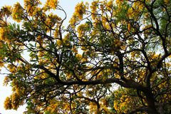 Κίτρινο λουλούδι του χρυσού δέντρου Tabebuia Chrysantha στο λουρί ANG, Ταϊλάνδη στοκ εικόνα με δικαίωμα ελεύθερης χρήσης
