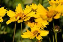 Κίτρινο λουλούδι του blackground Στοκ Εικόνες