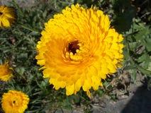 Κίτρινο λουλούδι φθινοπώρου Σπείρες των πολυάριθμων πετάλων στοκ εικόνες