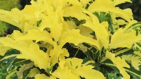 Κίτρινο λουλούδι φύλλων στον κήπο Στοκ φωτογραφία με δικαίωμα ελεύθερης χρήσης