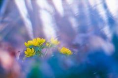 Κίτρινο λουλούδι χειμερινών ακονίτων στοκ εικόνες