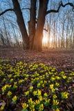 Κίτρινο λουλούδι χειμερινών ακονίτων στοκ φωτογραφία