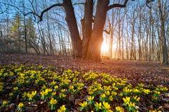 Κίτρινο λουλούδι χειμερινών ακονίτων στοκ φωτογραφίες με δικαίωμα ελεύθερης χρήσης