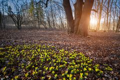 Κίτρινο λουλούδι χειμερινών ακονίτων στοκ φωτογραφία με δικαίωμα ελεύθερης χρήσης