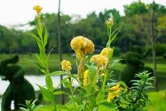 Κίτρινο λουλούδι argentea Celosia, κοινό Cockscomb, δημόσιο κτύπημα πάρκων Στοκ Φωτογραφίες