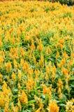 Κίτρινο λουλούδι argentea Celosia στον κήπο φύσης Στοκ Εικόνα