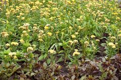 Κίτρινο λουλούδι argentea Celosia Στοκ εικόνα με δικαίωμα ελεύθερης χρήσης