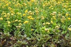 Κίτρινο λουλούδι argentea Celosia Στοκ φωτογραφία με δικαίωμα ελεύθερης χρήσης
