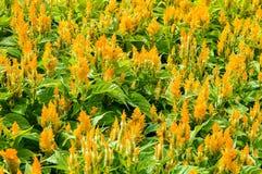 Κίτρινο λουλούδι argentea Celosia Στοκ φωτογραφίες με δικαίωμα ελεύθερης χρήσης