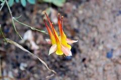 Κίτρινο λουλούδι Columbine, Zion Στοκ Εικόνα