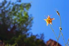 Κίτρινο λουλούδι Columbine, Zion Στοκ Εικόνες