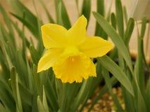 Κίτρινο λουλούδι Daffodils στο υπόβαθρο φύσης Όμορφο Daffodils στοκ εικόνα