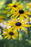 Κίτρινο λουλούδι hirta Rudbeckia με το μαύρο καφετί κέντρο στην άνθιση, η μαύρη eyed Susan στον κήπο Στοκ Φωτογραφία