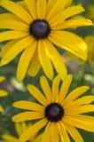 Κίτρινο λουλούδι hirta Rudbeckia με το μαύρο καφετί κέντρο στην άνθιση, η μαύρη eyed Susan στον κήπο Στοκ φωτογραφία με δικαίωμα ελεύθερης χρήσης