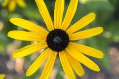 Κίτρινο λουλούδι hirta Rudbeckia με το μαύρο καφετί κέντρο στην άνθιση, η μαύρη eyed Susan στον κήπο Στοκ Φωτογραφίες