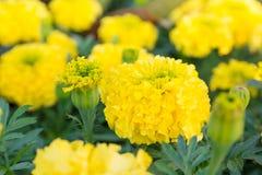 Κίτρινο λουλούδι, Marigold Στοκ Φωτογραφία
