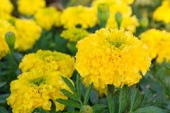Κίτρινο λουλούδι, Marigold Στοκ εικόνα με δικαίωμα ελεύθερης χρήσης