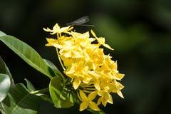 Κίτρινο λουλούδι Plumeria και μαύρη λιβελλούλη Στοκ φωτογραφία με δικαίωμα ελεύθερης χρήσης